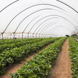 PYO Strawberry Field