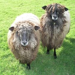 Leicester Longwool Black flock