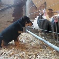 Turkey guard dog