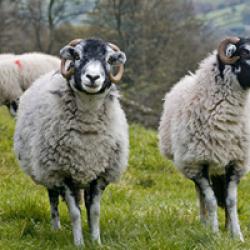 lamb & mutton