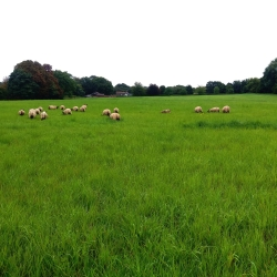 Happy lambs eating the lush grass at Gransden Hall, Cambridgeshire