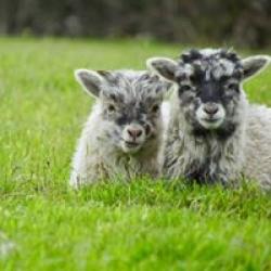 North Ronaldsay Twins