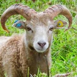 North Ronaldsay Tup Lamb