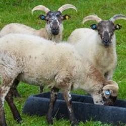 Boreray Ewe's