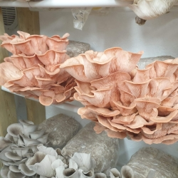 Our mushroom fruiting room