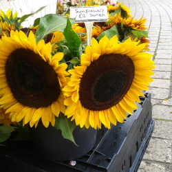 PYO Sunflowers