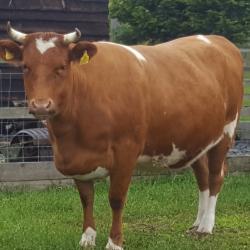 Shetland Beef 1