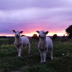 Lambs on the banks of the River Severn