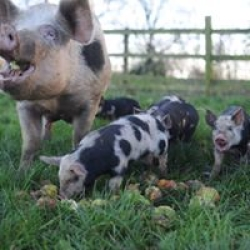 our happy pigs