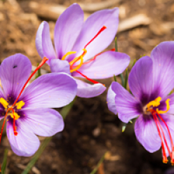 grow your own saffron