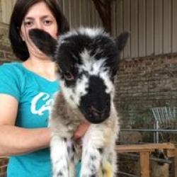Boreray Tup Lamb