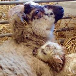 Boreray Ewe & Lamb