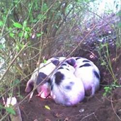 happy pork
