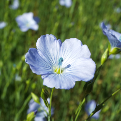 linseed flower for nature