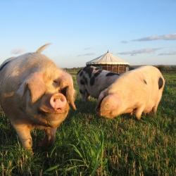 Glamping pigs
