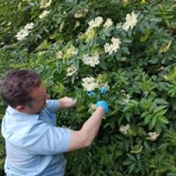 harvesting elderflower