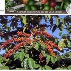 Columbian coffee beans