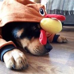 Turkey hound