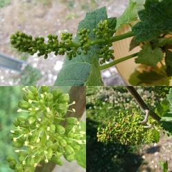 English grapes