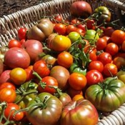 real tasty tomatoes