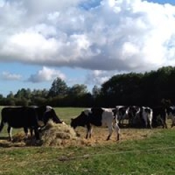happy grass fed cows