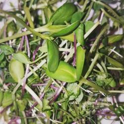 Pea Shoot, Sunflower Shoot,Micro Radish, Garlic Chive and Broccoli Salad