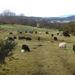 rare breed Hebridean sheep