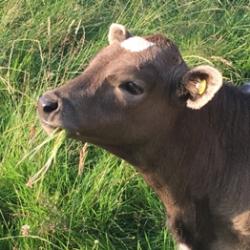 Shetland Heifer Calf Boganbuie Arya