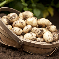 our potatoes