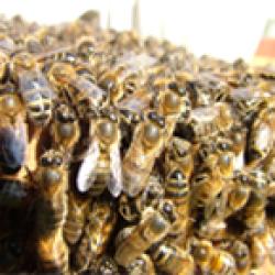 Exmoor Bees