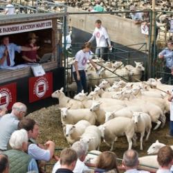 sheep at market