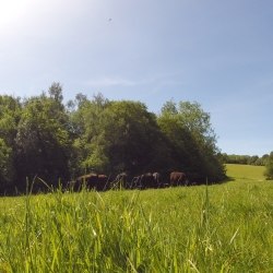 Young stock grazing