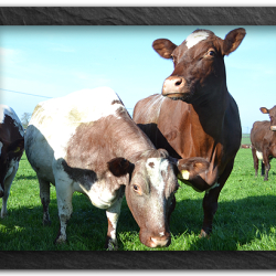 Our cows