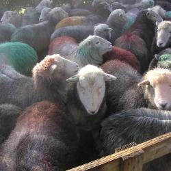 Herwick Sheep