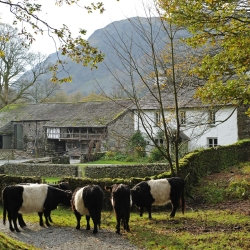Belted Galloway Cattle at Yew Tree Farm.