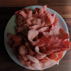 A plate of beautiful Pink Oyster mushrooms