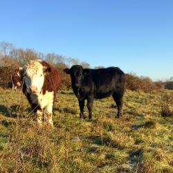Cows in the winter sun