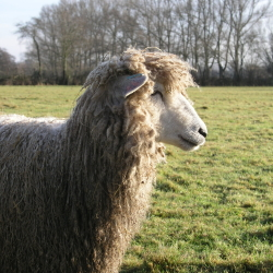 Leicester Longwool Lamb