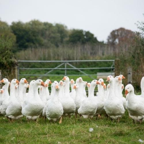 Free range goose Farm2Fork