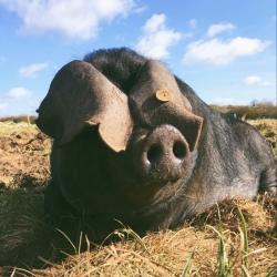 Julia - one of our Pedigree Large Black Sows