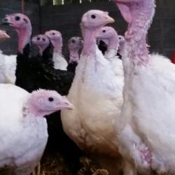 Stanborough Farm Poultry