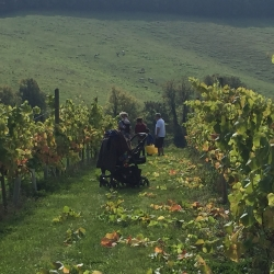 Harvest in the vines