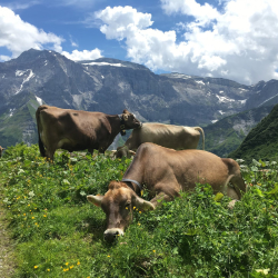 Cheese from alpine cows
