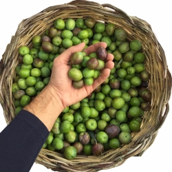 squeezing olives