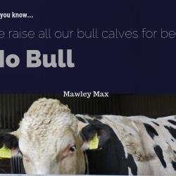 Holstein Bull Mawley Max