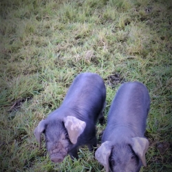 Cornish Large Black Weaners