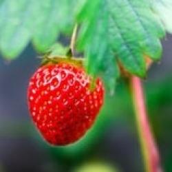 Local fruit in season