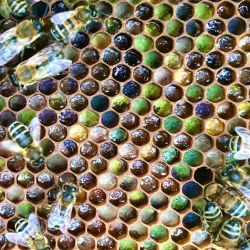 Bees on a Frame of Pollen