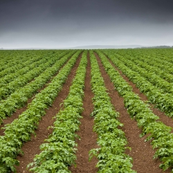 Upper Haythog Pembrokeshire Potatoes
