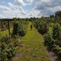 Raspberry rows